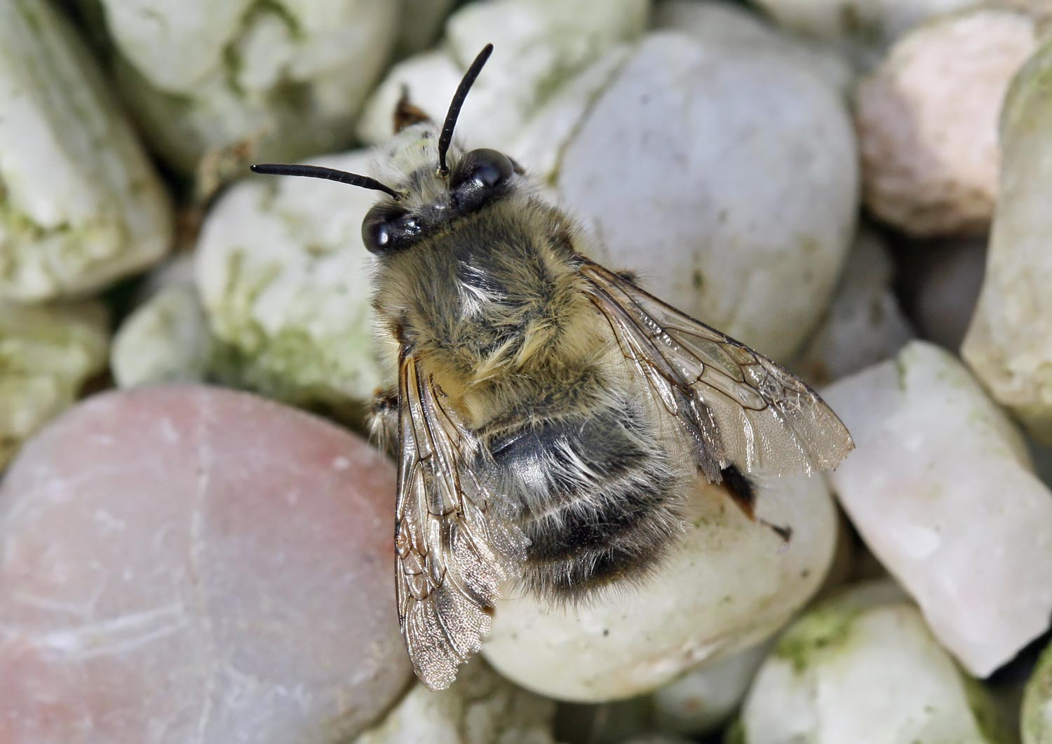 Anthophora plumipes