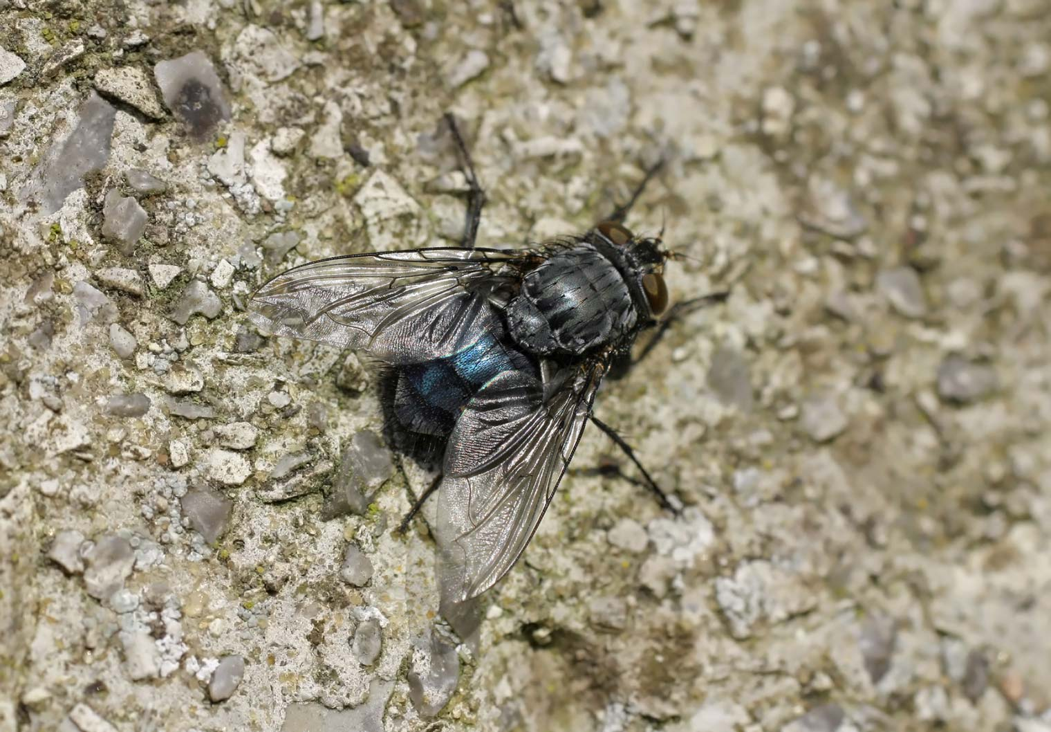 Calliphora vomitaria